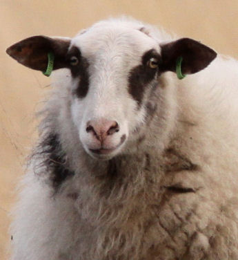 The generous sheep portret