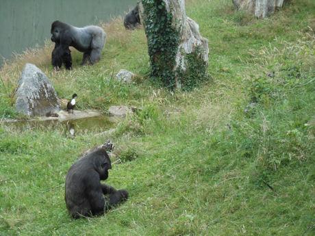 Gorilla's en eendjes
