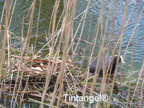 Meerkoet en nest9