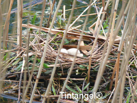 Mmerkoet nest