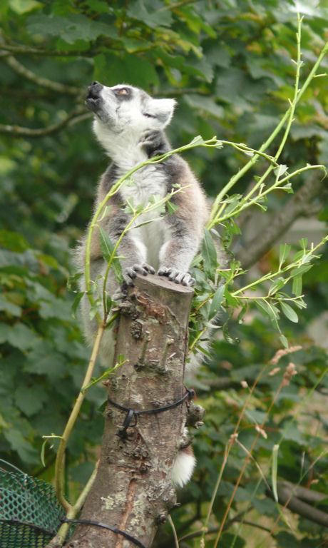 Lemur blog