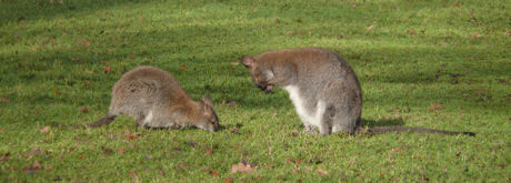 Wallabies 2 blog